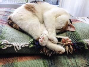 gartensilber-Katze